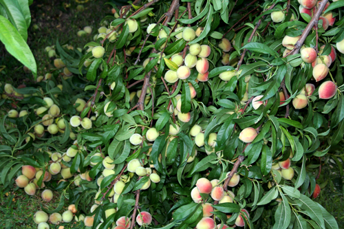 Peach-tree-3