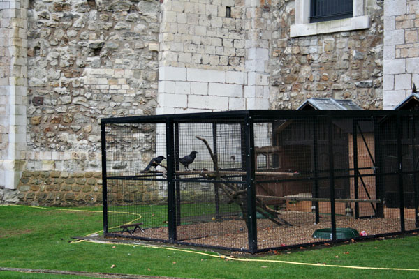Ravens-at-tower-of-london